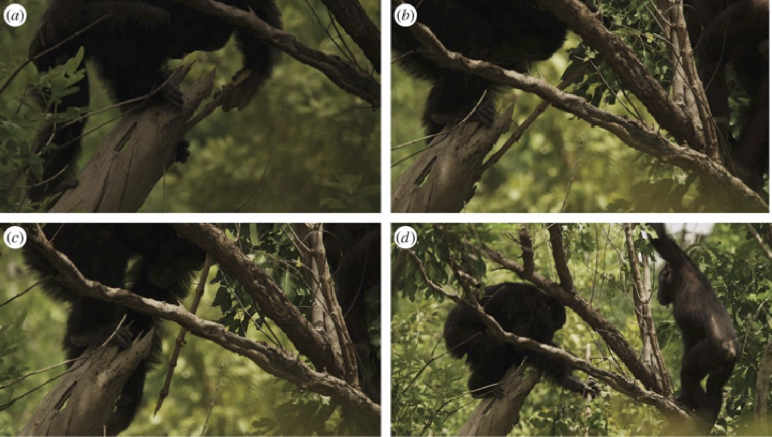 """Tool-assisted hunting by chimpanzee at Fongoli, Sénégal. Adult male chimpanzee uses tree branch with modified end to (a–c) stab into a cavity within a hollow tree branch that houses a Galago he ultimately captures as (d) his adolescent brother looks on. Images are courtesy of BBC."" — From Pruetz, et al., 2015."