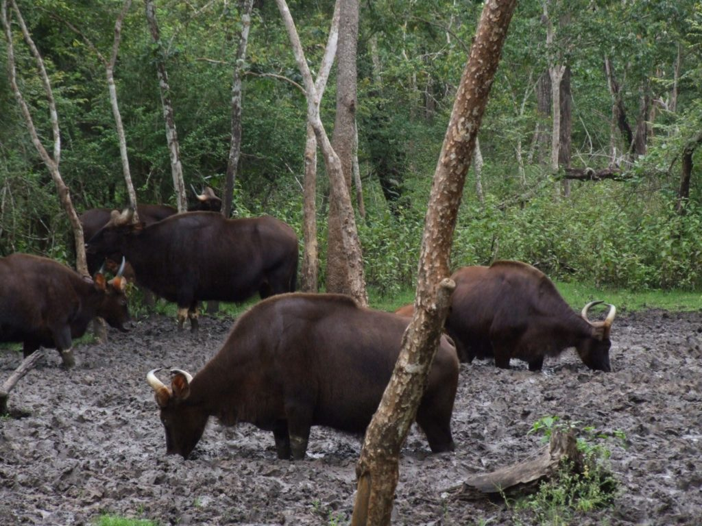 Wild Indian bison at a salt lick