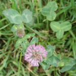 clover_round_leaves
