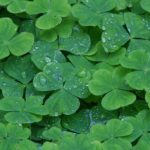 wood_sorrel_heart_shaped_leaves