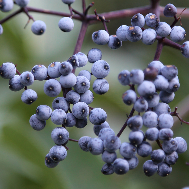natural-approaches-to-cold-and-flu-elderberries