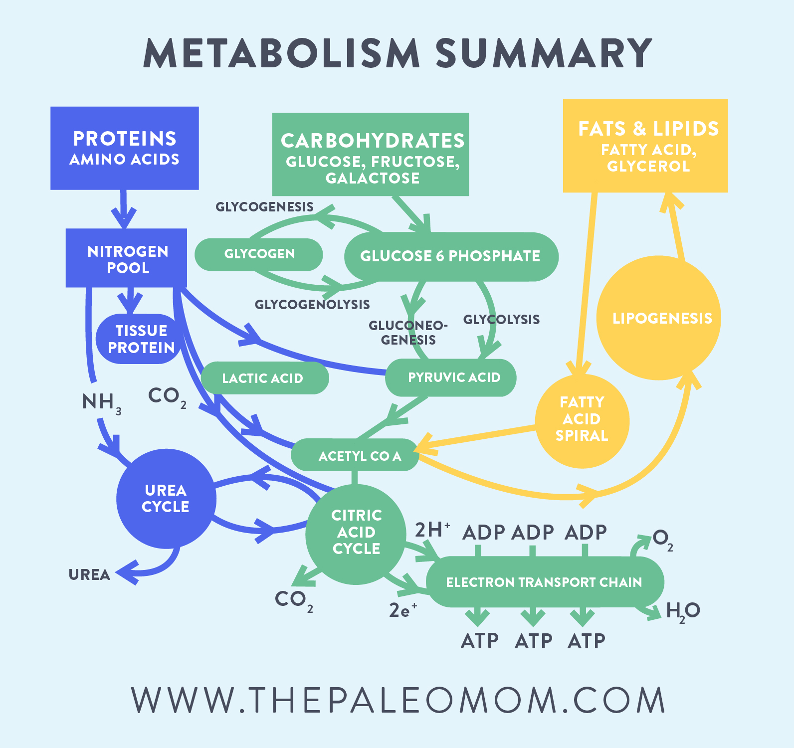 metabolism summary