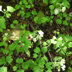 Ginkgo biloba leaf is a proven nootropic.