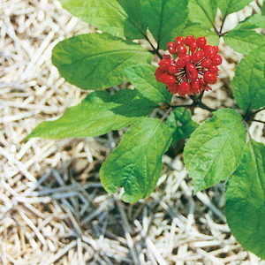 Panax ginseng is a proven nootropic.