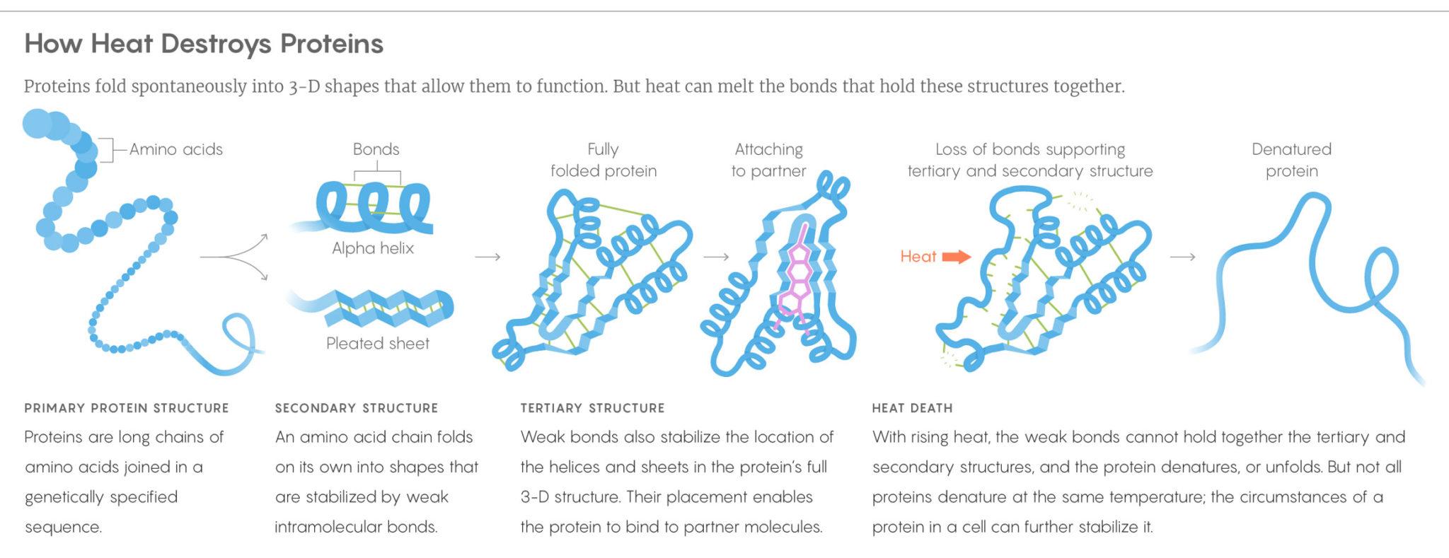 how heat destroys proteins