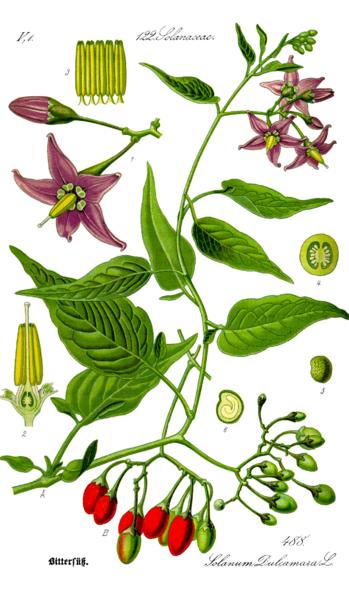 349px-Illustration_Solanum_dulcamara0_clean