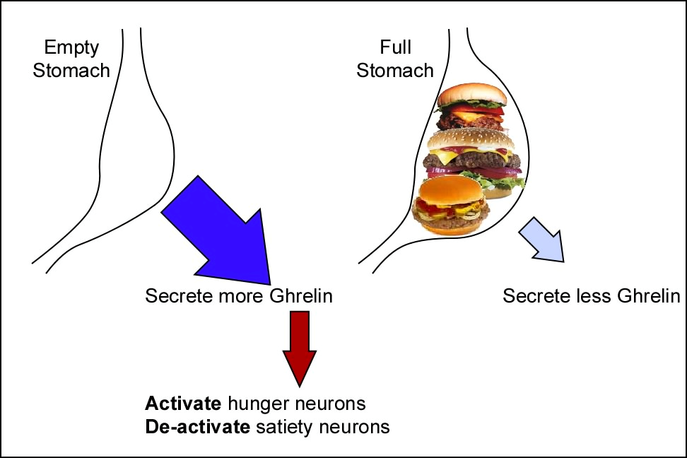 ghrelin case study Increased ghrelin and cortisol  case study # 6  jessica is a 48 year old grounds keeper at a local university while she had never really thought about pms, .