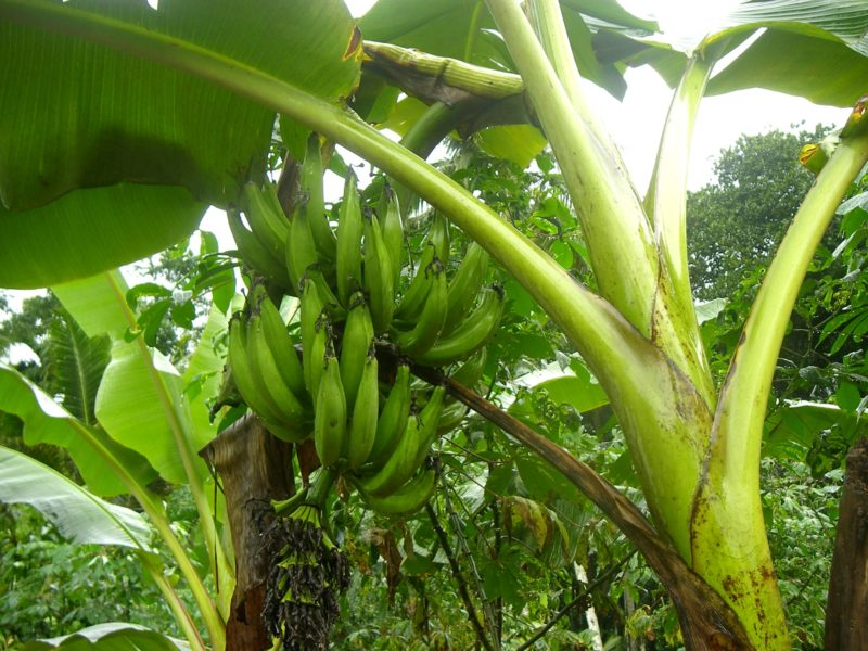 Image result for plantain