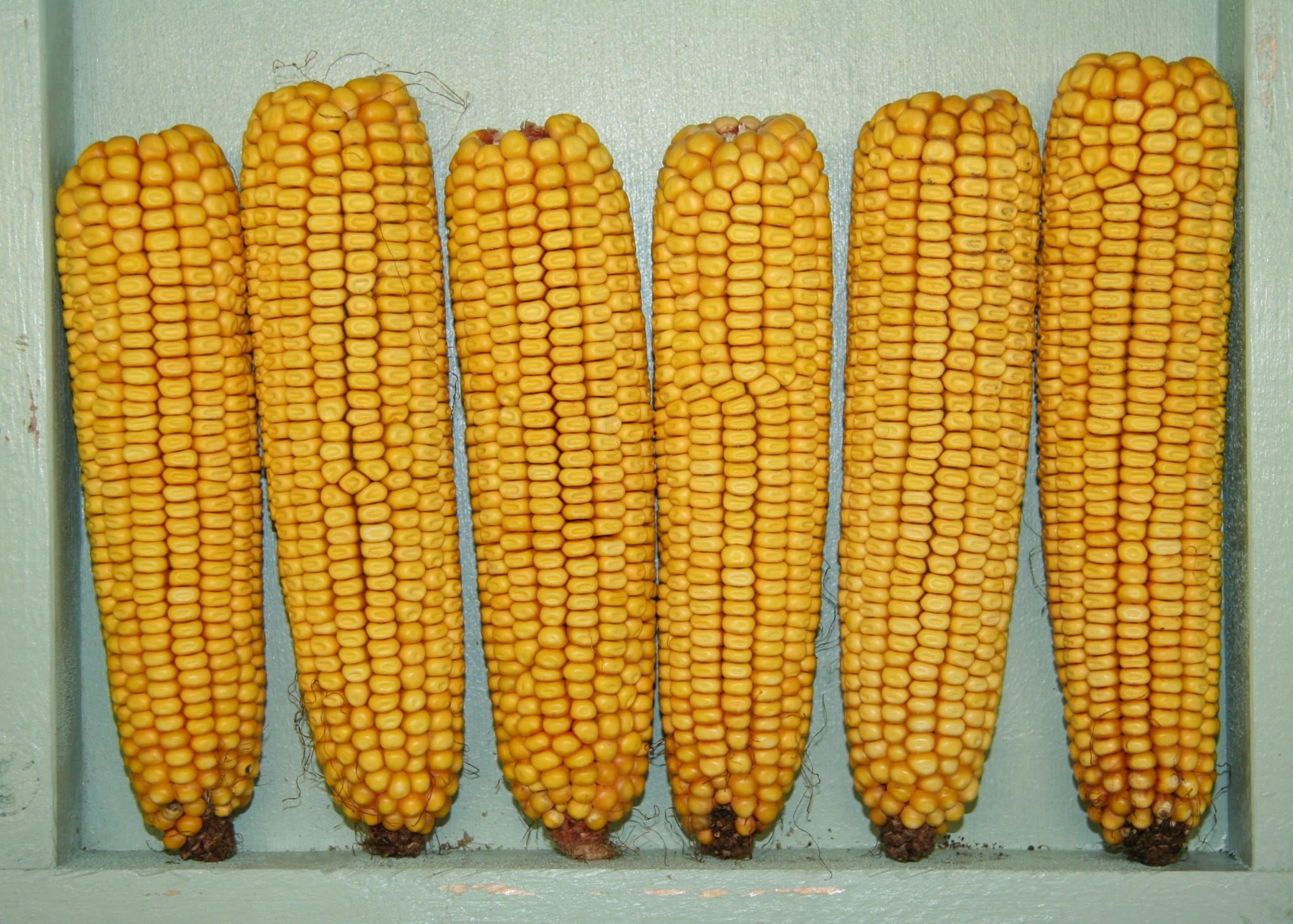 How to Avoid Corn ~ The Paleo Mom