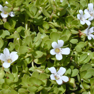 Bacopa monnieri is a proven nootropic.